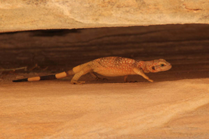 Lizard in Valley of fire Las Vegas